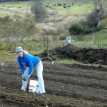 Planting organic garlic
