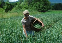 picking organic garlic scapes