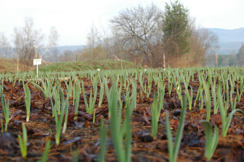 Garlic with Leaf Mulch