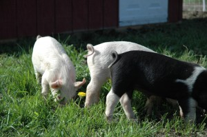 Three Little Pigs at the Garlic Farm