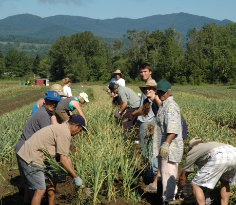 Green Mountain Garlic Harvest
