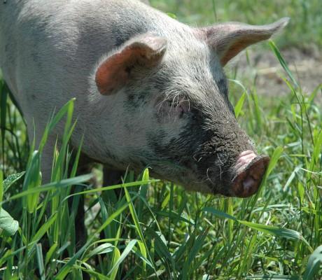 Green Mountain Garlic Piggy