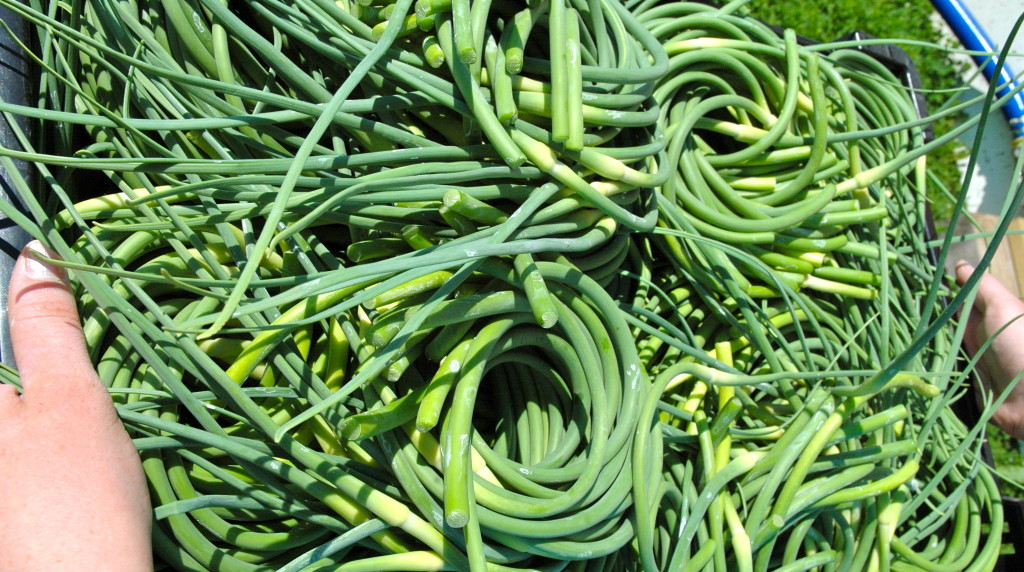 Green_Mountain_Garlic_Scapes_Summer